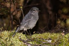 South island robin of New Zealand royalty free stock images