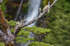 South Island Tomtit. Sitting on a Beech branch with a waterfall in the background royalty free stock images