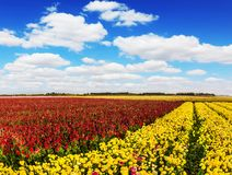 South of Israel, spring day. Farmer field of flowering yellow and red buttercups. Lush cumulus clouds in the blue sky. The concept stock photo