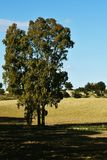 South Italy country side and a view on the eucalyptus tree. In the shade stock photos