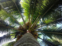 South Kerala Coconut trees Stock Photography