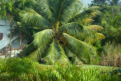 South Kerala Coconut trees Royalty Free Stock Image