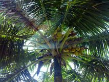 South Kerala Coconut trees Stock Photos