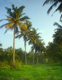 South Kerala Coconut trees Royalty Free Stock Images