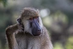 South Luangwa Monkey. A monkey stares at me in South Luangwa National Park, Zambia Royalty Free Stock Photography