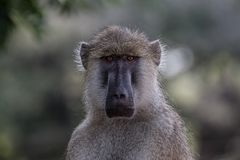 South Luangwa Monkey. A monkey stares at me in South Luangwa National Park, Zambia Stock Photos