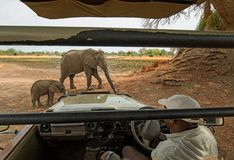 Mother and calf elephant standing close to a safari vehicle in south luangwa national park, zambia royalty free stock photos