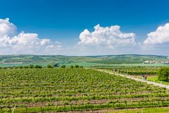 South Moravia, Czech republic: Vineyard fields on agriculture land. Countryside meadow, vineyard plant and beautiful landscape nea. R small village. Summer and stock image