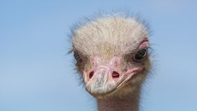 South African ostrich close-up