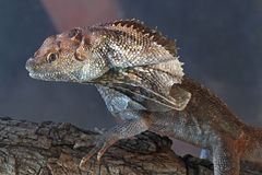 South Pacific Frilled Lizard Stock Images