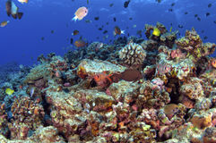 South Pacific Reef. A school of fish over a coral reef royalty free stock photo