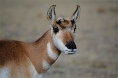 South Park Pronghorn royalty free stock photo