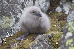 South Polar skua chick in the nest Stock Images
