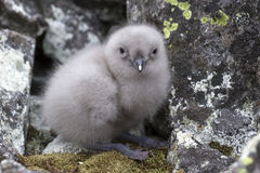 South Polar skua chick sitting near the nest Royalty Free Stock Image