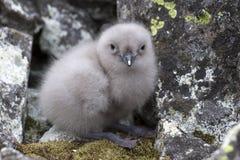 Free South Polar Skua Chick Sitting Near The Nest Royalty Free Stock Image - 41149736