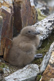 South Polar skua chick who hid among the rocks Royalty Free Stock Photography