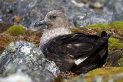 South Polar Skua female is sitting on eggs in a nest Stock Images