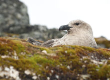South Polar Skua female sitting in a nest. Stock Image
