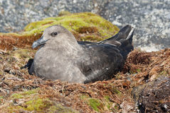 South Polar Skua female sitting on the nest. Royalty Free Stock Photo