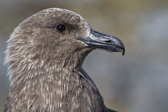 South Polar Skua portrait Antarctic Stock Photo