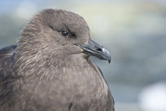 South Polar Skua portrait sitting on the rock  of the Antarctic Stock Photos