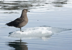 South polar skua sitting on an ice floe floating. Stock Photography