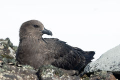 South polar skua sitting on the rocks. Royalty Free Stock Photo