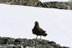 South Polar Skuar standing on rock Royalty Free Stock Photo