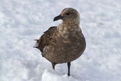 South polar skuas which stands Royalty Free Stock Images