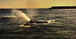 South Right Whale. South Atlantic, Argentina, Chubut Province, Valdez Peninsula, Península Valdés ,Nature Reserve, Puerto Madryn, South Right Whale,a royalty free stock photos