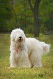 South Russian Sheep Dog Royalty Free Stock Photo