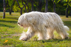 South Russian Sheep Dog Royalty Free Stock Photos