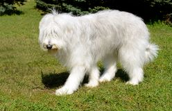 South Russian Sheepdog left side. The South Russian Sheepdog is in the park royalty free stock image