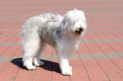 South Russian Sheepdog right side. The South Russian Sheepdog is in the park stock photo