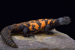 South Saharan spiny-tailed lizard (Uromastyx flavifasciata) Royalty Free Stock Photo