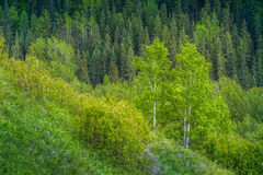 South Slope. A south facing slope with typical vegetation of aspen trees and saskatoon bushes in the foreground and a conifer forest on the opposite north slope Royalty Free Stock Photo