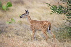 South Texas Fawn Royalty Free Stock Image