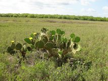 South Texas prickly pear cactus Royalty Free Stock Images