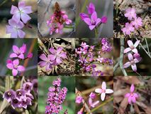 South West Australian Pink Wild Flowers Collage Royalty Free Stock Image