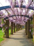 Southampton, UK. The wisteria pergola in Andrews Park - Southampton Hampshire England UK royalty free stock photography