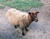 Southdown πρόβατα μέσα στις βασίλισσες Zoo στοκ φωτογραφία με δικαίωμα ελεύθερης χρήσης