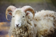 Southdown sheep ram Stock Photography