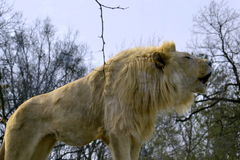 Southeast African Lion Royalty Free Stock Photography