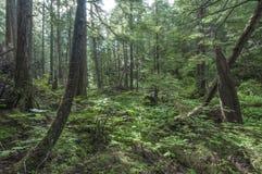 Southeast Alaska forest. Diverse vegetation in pine forest near Sitka on Baranof Island in southeast Alaska Royalty Free Stock Photo