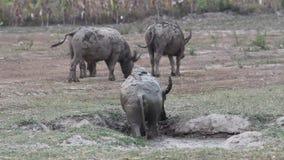 Southeast Asian water buffalo stock video footage