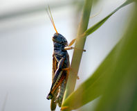 Southeastern lubber Grasshopper Stock Photo