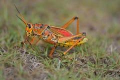 Southeastern lubber grasshopper Royalty Free Stock Photos