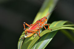 Southeastern lubber grasshopper Royalty Free Stock Photography