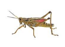 Southeastern Lubber Grasshopper watercolor Stock Photo
