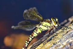 Souther-Straßenverkäufer Dragonfly Lizenzfreies Stockbild